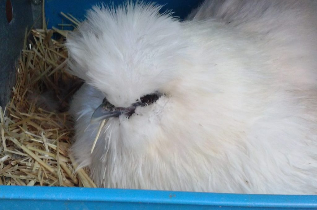 Buffy snuggled in the nesting box